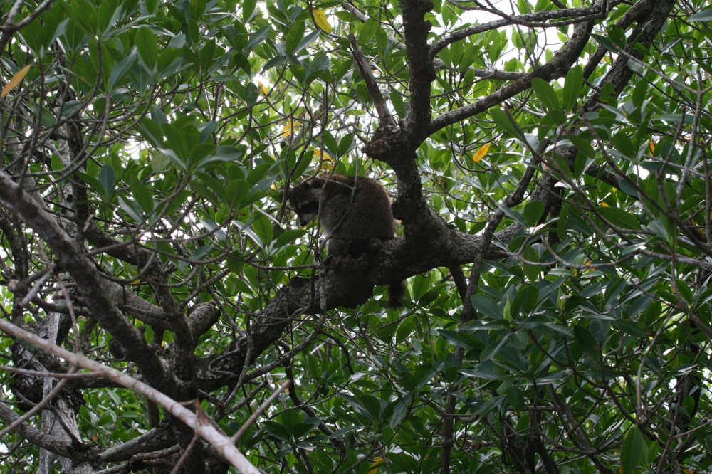 A racoon in the trees. Actually, this was a mama racoon and we saw 4 or so of her children. Yes, it was cute.